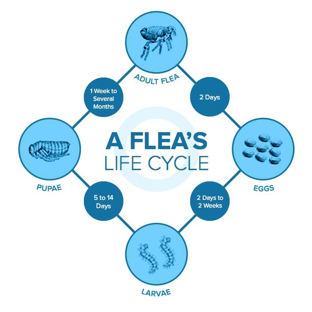 Image explaining the Flea Life Cycle. It shows the timeline for Flea eggs to become larvae, than Pupae and then Adult fleas.