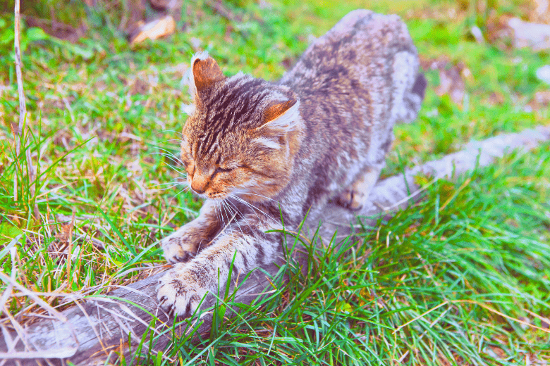 Image of a cat scratching tree in the wild to trim his nails