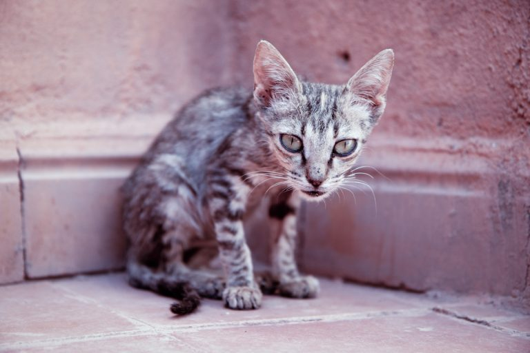 Photo of a skinny cat in need of weight gain cat food