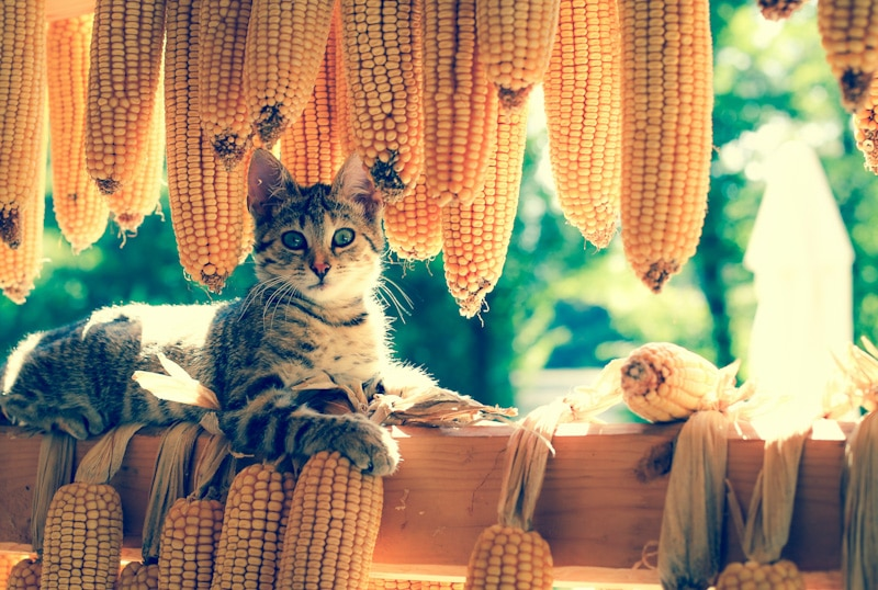 beautiful cat with corn