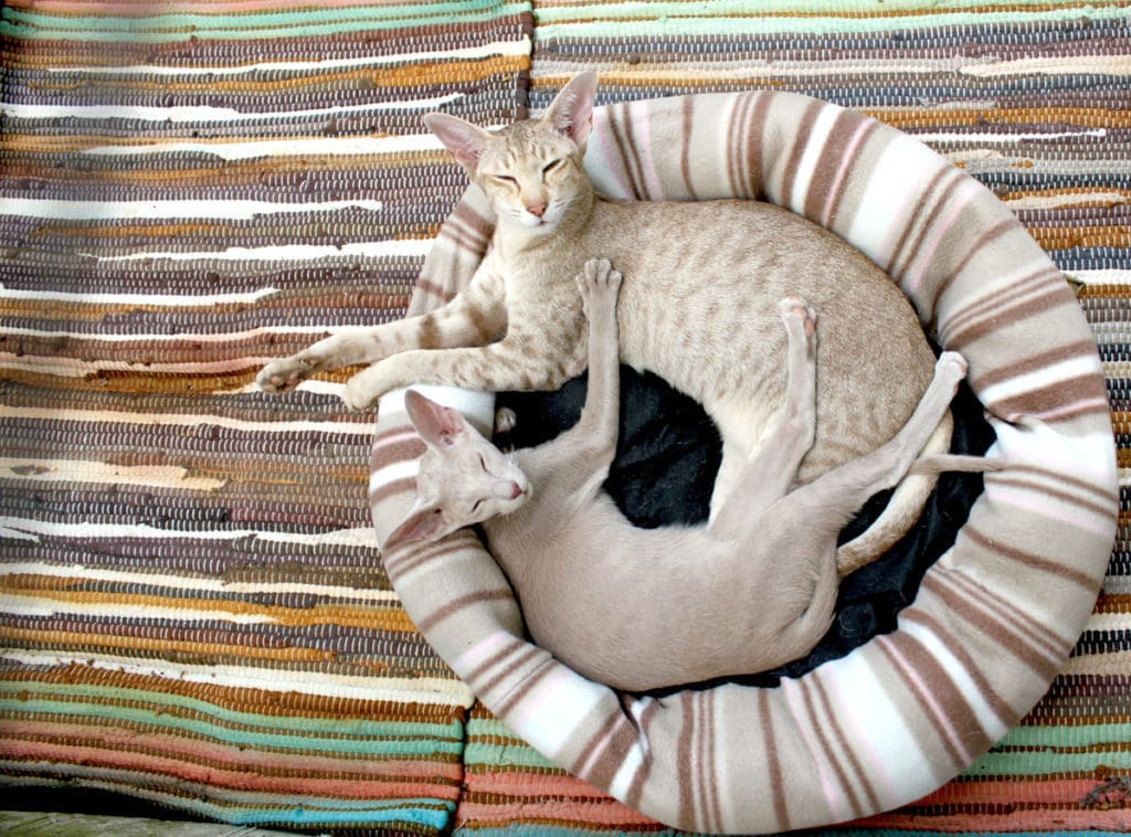 Hairless cats in a heated cat bed